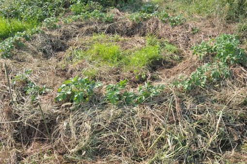 秋ジャガイモ 自然栽培 農業体験 体験農場 野菜作り教室