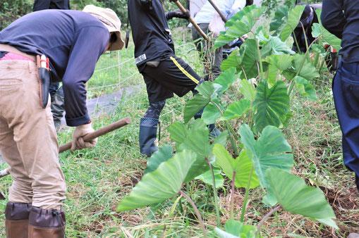 海老芋はサトイモの仲間です。しっかり土寄せをして収穫を迎えます@さとやま農学校