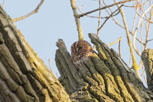 Foto 1: Waldkauz in hohlem Baum. Foto: A. Keller