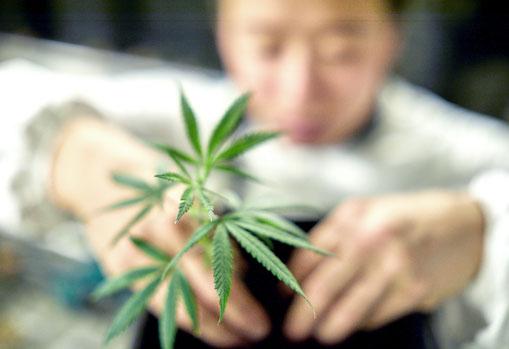 Qualicann mitarbeiter in Overall beim Eintopfen eines CBD Cannabis Stecklings