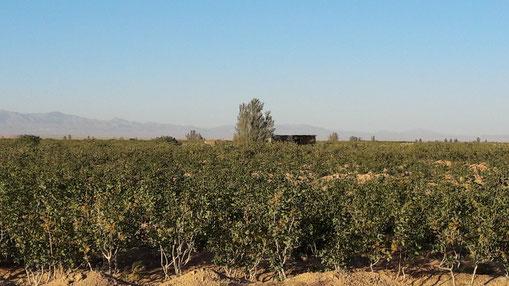 Huertos Pistacho de Pariz Nuts en Sirjan, Irán