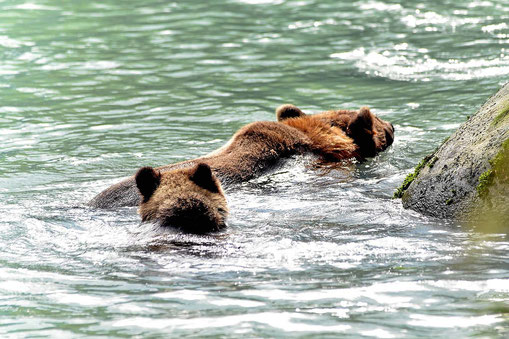 Eine Grizzly-Mutter mitsamt Kind schwimmt zum Wehr.
