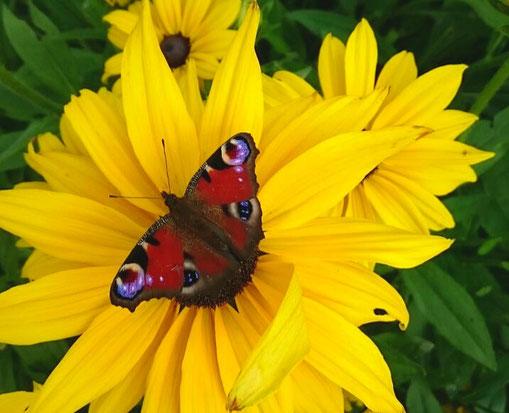 Entspannungs- und Heilpraxis - Heilsitzungen - Schmetterling sitzend auf der Sonnenblume