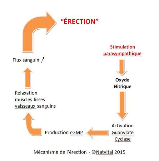 mécanisme de l'érection, dysfonction érectle