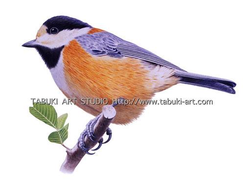 ヤマガラ 山雀 野鳥 イラスト 切り抜き 小鳥