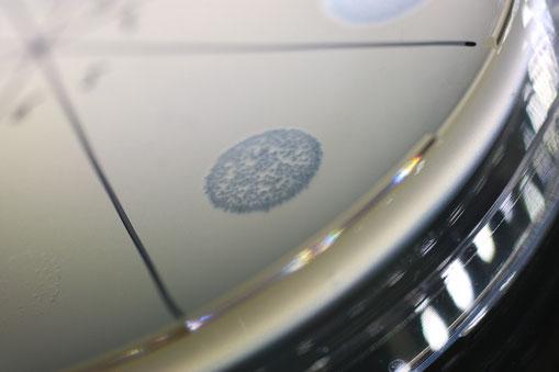 Door fagen gedode bacteriën zijn zichtbaar als doorzichtige cirkels in een laag gekweekte bacteriën.