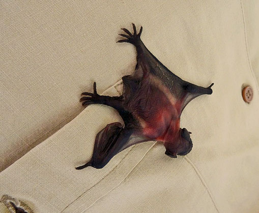 Wog nur 3 g: Junge Breitflügelfledermaus (Foto: Gerhard Schaad)