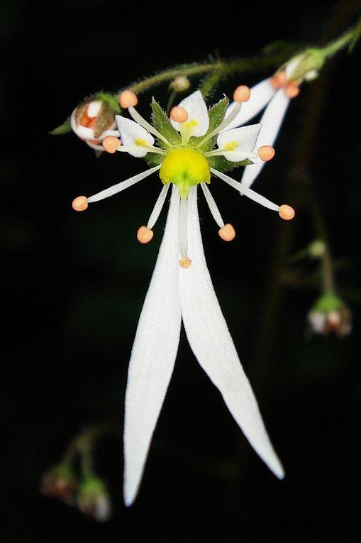 ジンジソウの花の正面−1