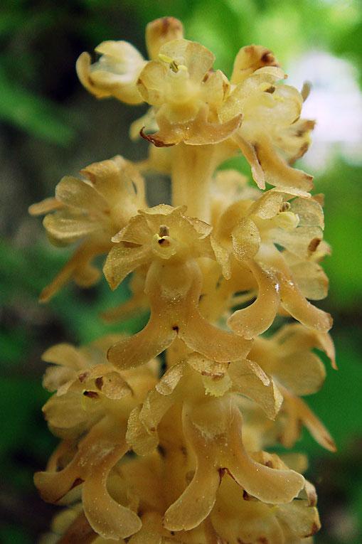花序上部の花