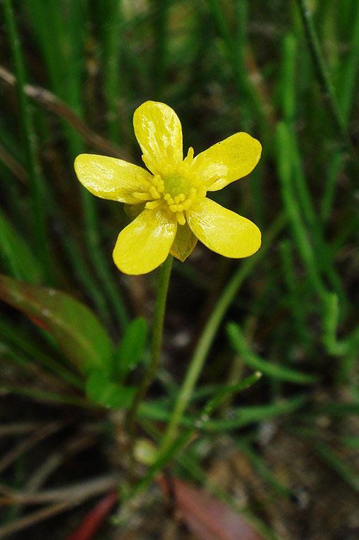 イトキンポウゲの花弁は黄色く、光沢があります。 花弁の間から萼片が覗いています。