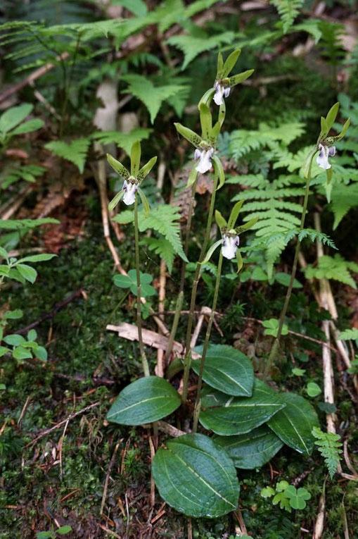 イチヨウラン (一葉蘭) ラン科  最も雪解けが遅い場所にフレッシュな花がいた