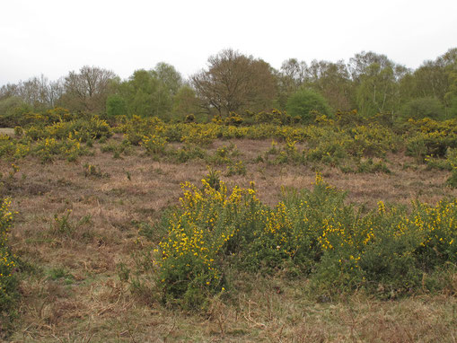 Heathland with gorse (not in Birmingham) - photograph by Roger Jones on Geograph reusable under a Creative Commons licence