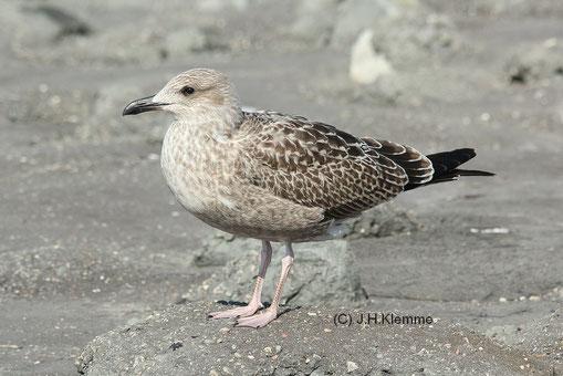 Sehr wahrscheinlich ein Silbermöwe-Jungvogel (Larus argentatus) im 1. Jahr. Küste bei Westkapelle, Zeeland [September]