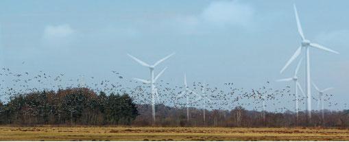 Soll so die Zukunft des Ipweger Moores aussehen? Links über den Bäumen erkennt man den Wahnbeker Turm. Im Originalfoto vom März 2013 mit hunderten Wildgänsen sind die Windräder per Fotomontage (S. Lor