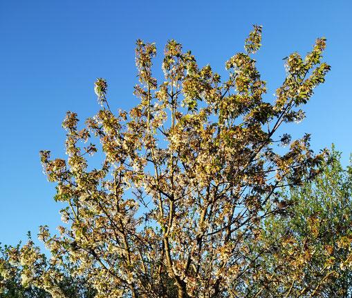 25.04.2020. Die Kirschbäume verblühen nach dreiwöchiger weißer Pracht.