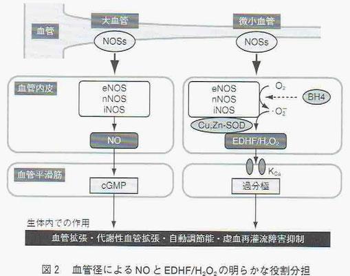 血管径によるNOとEDHF/H2O2(過酸化水素[活性酸素の一種])の役割分担