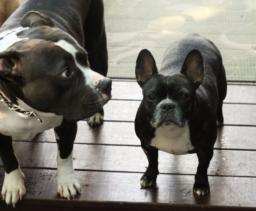 My American Bully and French Bulldog