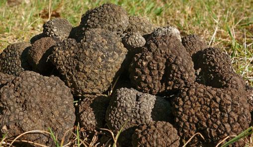 Die Trüffel - Ein kostbarer Pilz aus dem Untergrund   In der Natur gibt es verschiedene Trüffelarten, die sich je nach Seltenheit des Produkts, Aroma und Geschmack unterscheiden, die seinen Wert bestimmen.