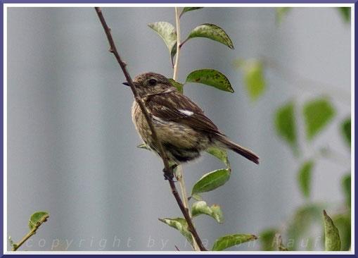 Europäisches Schwarzkehlchen (Saxicola rubicola) Jungvogel, 24.05.2020, Staaken/Berlin