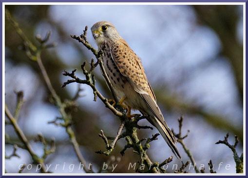 Junger Turmfalke (Falco tinnunculus) - Männchen oder Weibchen?, 04.03.2020, Berlin.