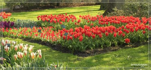 Tulpen und