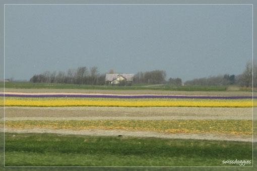 Auch in Texel gibt es schöne Blumenfelder.