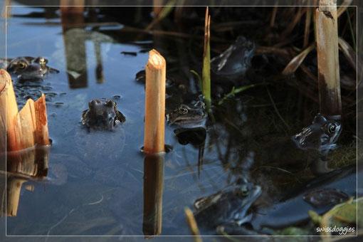 ... und die vielen Frösche in unserem kleinen Teich beobachtet. - Mann, das ist vielleicht ein Gequake!