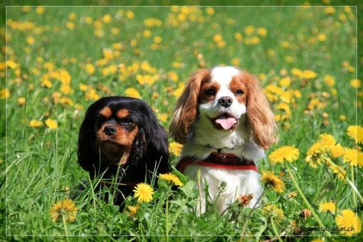 ein Foto für Mama: Cavalier im Blumenfeld!