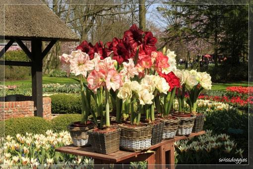 Blumen überall - wunderschöne Amaryllis