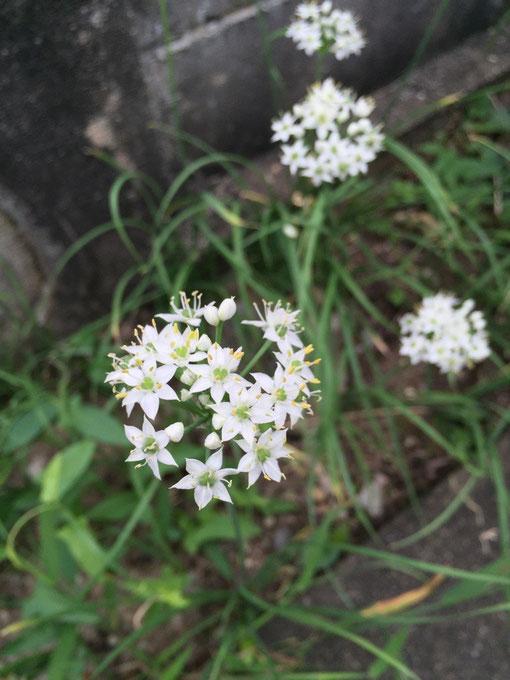 彼岸時期に咲くニラの花白くて可愛いです。