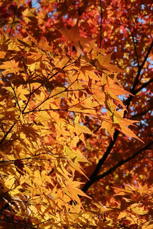 イロハモミジはオレンジに色づいているところも有りとても美しい
