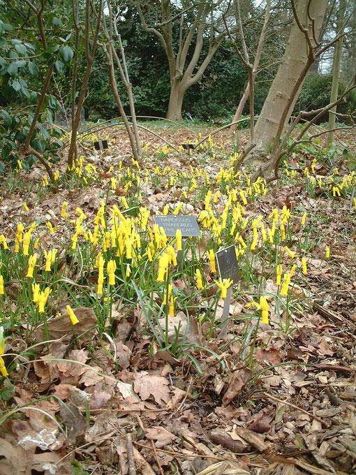 "Narcissus Triandurs ""April tears"" スイセンの珍しい品種 日本には無いかも"