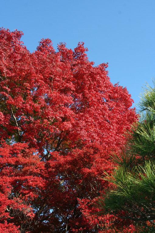 ドウダンツツジ、イロハモミジ、黒松のコントラスト 赤色の真ん中くらいがモミジとドウダンの境