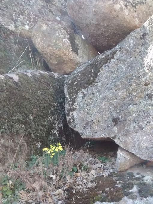 Tienen su habitad entre las rocas, escondidos entre las ranuras, entre entramados de hierva y hojas secas; Su floración se produce en los comienzos de la primavera y su aroma es delicioso. Cada año los busco para admirarlos.
