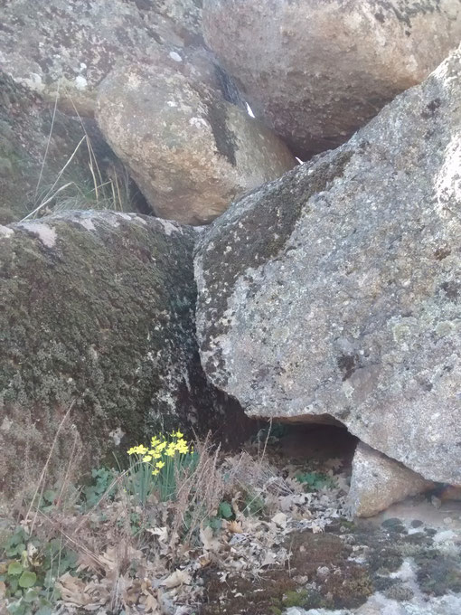 Tienen su hábitad entre las rocas, escondidos entre las ranuras, entre entramados de hierva y hojas secas; Su floración se produce en los comienzos de la primavera. Cada año los busco para admirarlos y aspirar su delicado aroma. F. Merche. P. Privada.