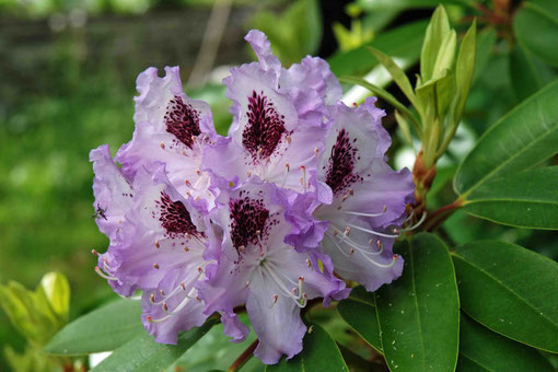 Rhododendron 'Blue Peter'