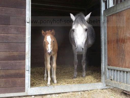 Das Erlebnis für Kinder: Ponys kennenlernen und erleben