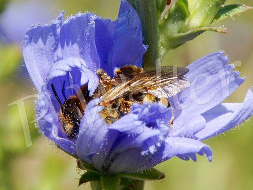Bild: Geldbbindige Furchenbiene an der Wegwarte, Wildbiene des Jahres 2018