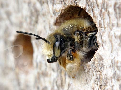 Bild: Blattschneiderbiene, Megachile spec., Übernachtung