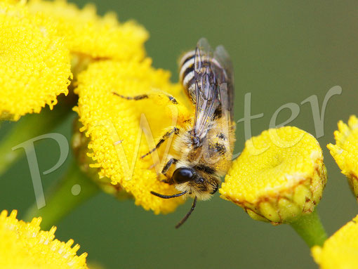 Bild: Seidenbiene, Colletes spec., am Rainfarn