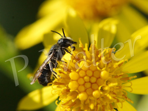 Bild: Löcherbiene, Osmia truncorum, am Jakobs-Kreuzkraut