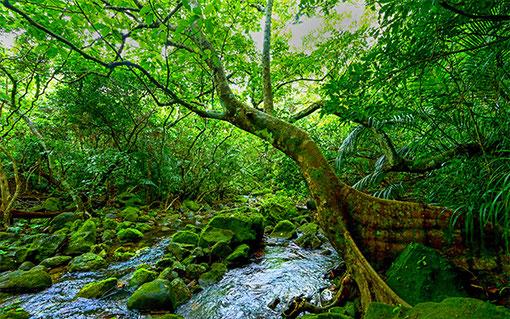 西表島の原生林