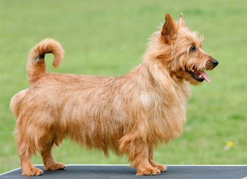 Australian Terrier Hündin Unity Maol-Cu  Ch. Klasse V1, Res.CAC