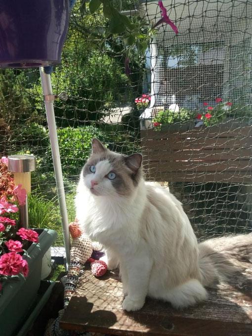 Kajika Rags' Wynono *  20.7.20, blue bicolour,  wohnt jetzt bei unserer Freundin Evi in Konstanz bei Pearlie und Grisu