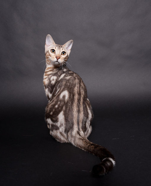 silver marbled bengal Du Bout De Bonheur Honey Moon of Silver Moon Bengals