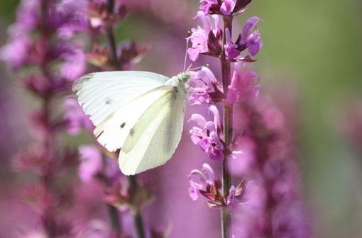 Fantasie und Wirklichkeit Fotografien und Gedichte Kathrin Steiger weißer Schmetterling auf lila Blume