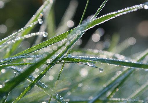Morgentau auf Grass
