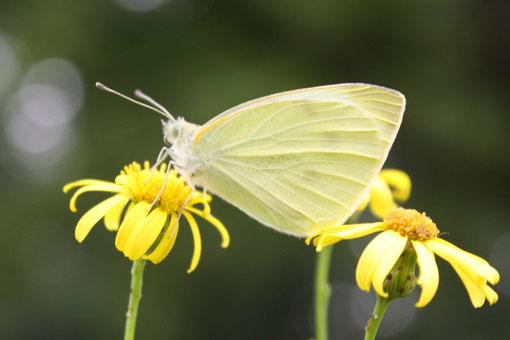 Fantasie und Wirklichkeit Fotografien und Gedichte Kathrin Steiger Schmetterling auf gelber Blume