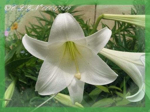 De beaux Lys blanc