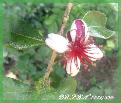 Fleur du Goyavier du Brésil ou encore Féjoyia
